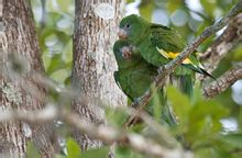 White-winged Parrot